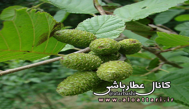 خواص دارویی گیاه توسکا